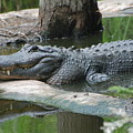 The Other Florida Gator by Margaret Fortunato