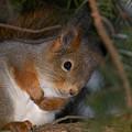 The Red Squirrel 4 by Jouko Lehto