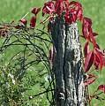 The Red Vine 2 by Jackie Mueller-Jones