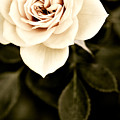 The Softest Rose by Marilyn Hunt
