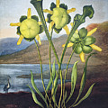 Thornton: Pitcher Plant by Granger