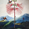 Thornton: Sensitive Plant by Granger