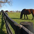 Thoroughbred Horses In Kentucky Pasture by Dave Chafin