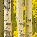 Three Autumn Aspens by James BO  Insogna