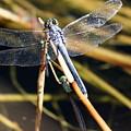 Three Dragonflies On One Reed by Carol Groenen