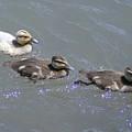 Three Duckies  by Jeff Swan