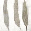 Three Eucalyptus Leaves by Carol Leigh