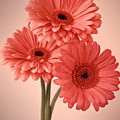 Three Gerberas 1 by Joseph Gerges