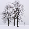 Three Trees by Laura Kinker