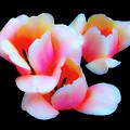 Three Tulips by Frances Hattier
