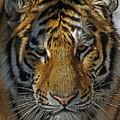Tiger 5 Posterized by Ernie Echols