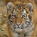 Tiger Cub by Ernie Echols