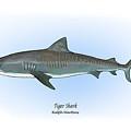 Tiger Shark by Ralph Martens
