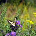 Tiger Swallowtail And Bee by George Jones