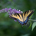 Tiger Swallowtail Female On Butterfly Bush Flowers by Robert E Alter Reflections of Infinity