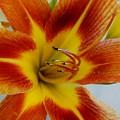 Tigerlily Paw by Marsha Heiken
