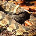 Timber Rattlesnake Horizontal by Joshua Bales