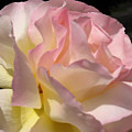 Tissue Paper Rose by Judith Turner