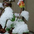 Too Soon Winter - Yellow Rose by Shirley Heyn