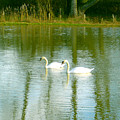 Tranquil Reflection Swans by Susan Baker