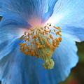 Translucent Blue Poppy by Carol Groenen