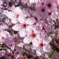 Tree Blossoms Pink Spring Flowering Trees Baslee Troutman by Baslee Troutman