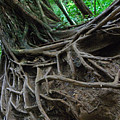 Tree From Manoa Falls by Elizabeth Hoskinson