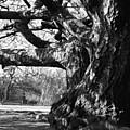 Tree I by Olivier De Rycke