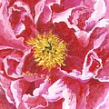 Tree Peony by Keith Wilkie