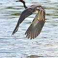 Tri Colored Heron Over The Pond by Carol Groenen