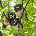 Triple Cute Saw-whet Owls by Tim Grams