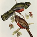 Trogon Collaris by John Gould