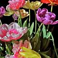 Tulip 8 by Pamela Cooper