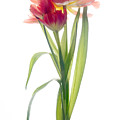Tulip by Ann Garrett