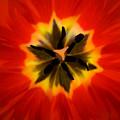 Tulip Explosion Kaleidoscope by Teresa Mucha