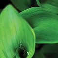 Tulip Leaves-1 by Steve Somerville
