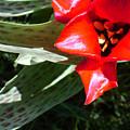 Tulip by Steve Karol