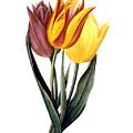 Tulip (tulipa Gesneriana) by Granger