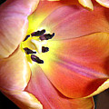 Tulip Up Close by Lucyna A M Green