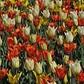Tulips 1 by Jennifer Englehardt