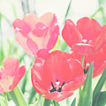 Tulips  by Toni Hopper