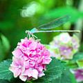 Turquiose Dragonfly  And Hydrangea by Heather S Huston