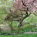 Twisted Cherry Tree In Central Park by Margaret Bobb