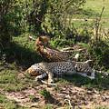 Two Cheetahs by Aidan Moran