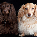 Two Dachshunds by Doxieone Photography