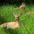 Two Deer In Tall Grass by Rosalie Scanlon