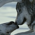 Two Gray Wolves, Canis Lupus, Touch by Jim And Jamie Dutcher