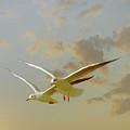 Two Mediterranean Gulls In Flight by Christiana Stawski