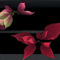 Two Poinsettias by Heather Kirk