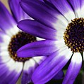 Two Purple N White Daisies by Sabrina L Ryan